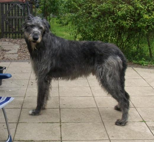 Rent Irish Wolfhound 3