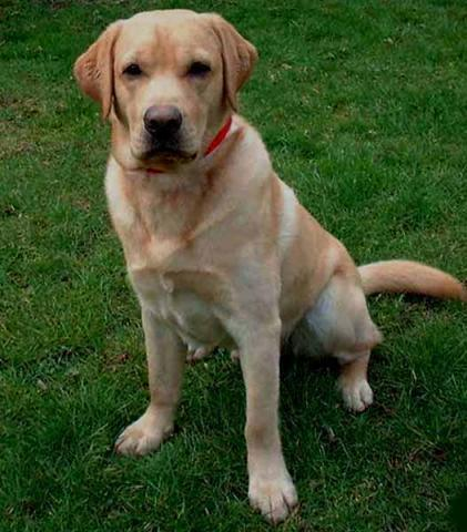 Rent Labrador (Yellow)