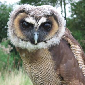 Rent Malaysian Wood Owl