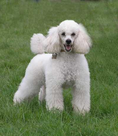Rent Miniture Poodle