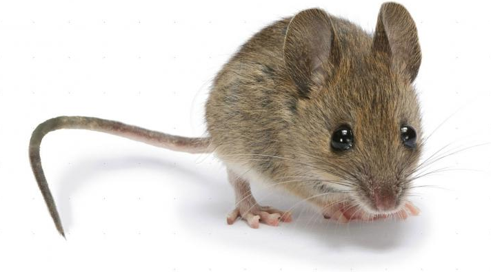 Rent Mouse