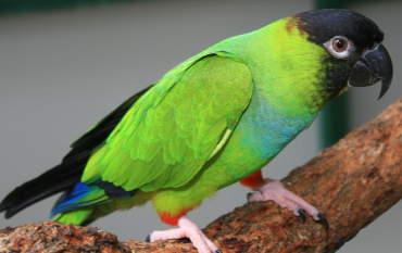 Rent Nanday Conure