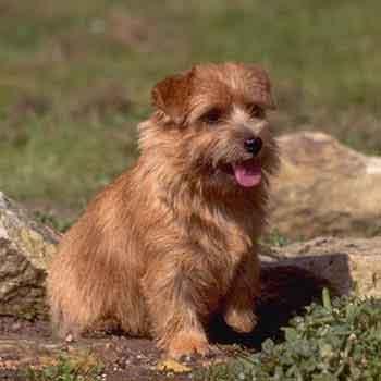 Rent Norfolk Terrier