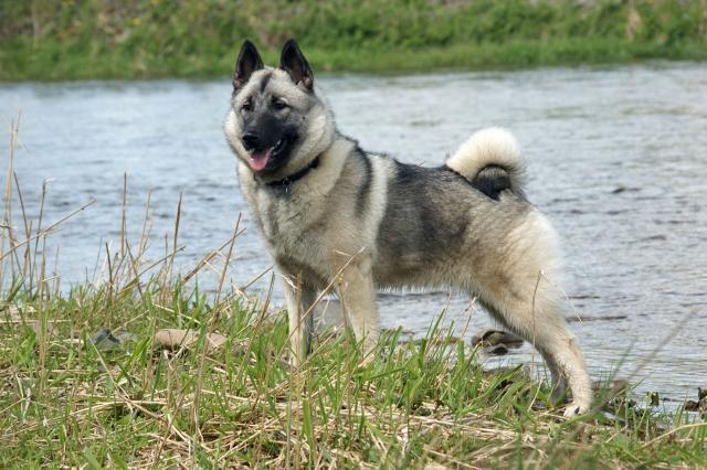 Rent Norwegian Elkhound