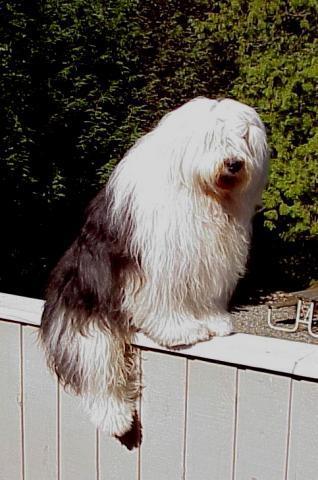 Rent Old English Sheepdog 1