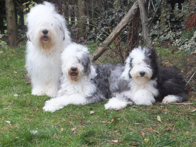 Rent Old English Sheepdogs