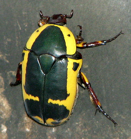 Rent Packnodo Beetle
