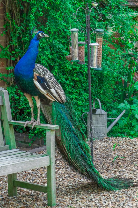 Rent Peacock