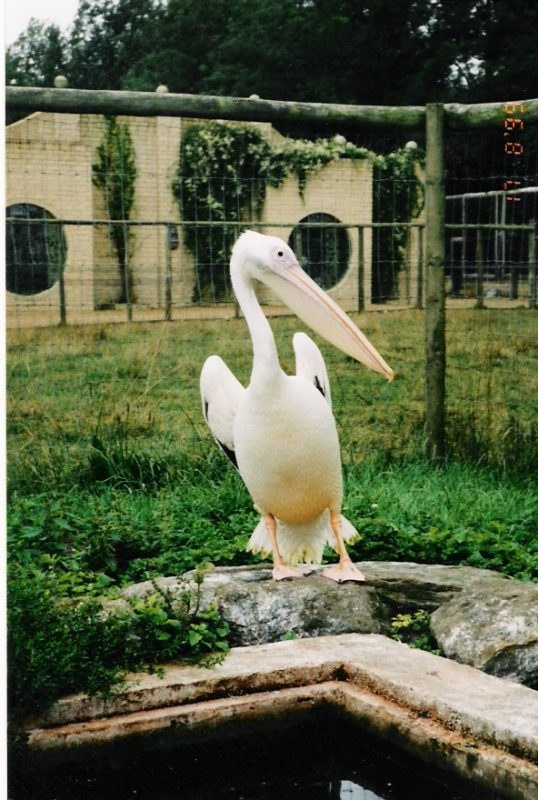 Rent Pelican
