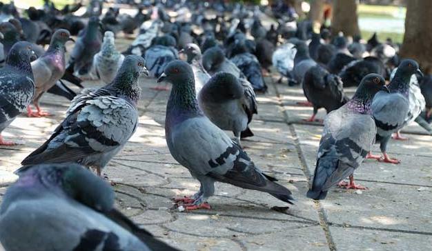 Rent Pigeons