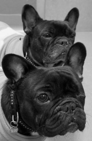 Rent Piggy and Mimi (French Bulldogs)