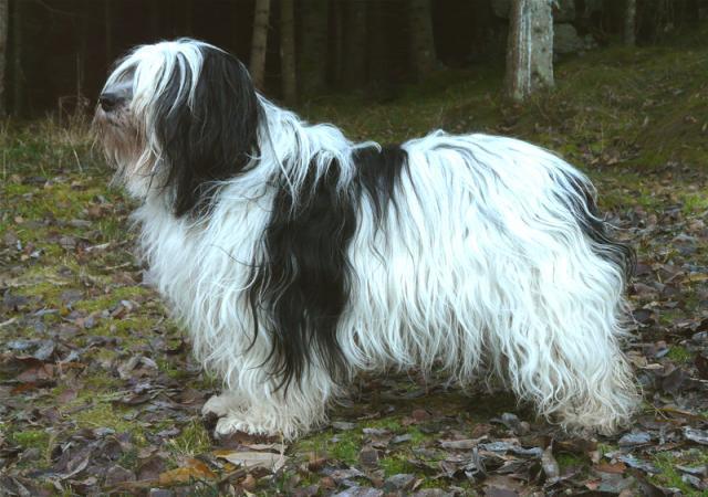 Rent Polish Lowland Sheepdog