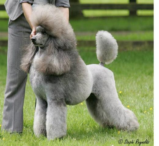 Rent Poodle 1