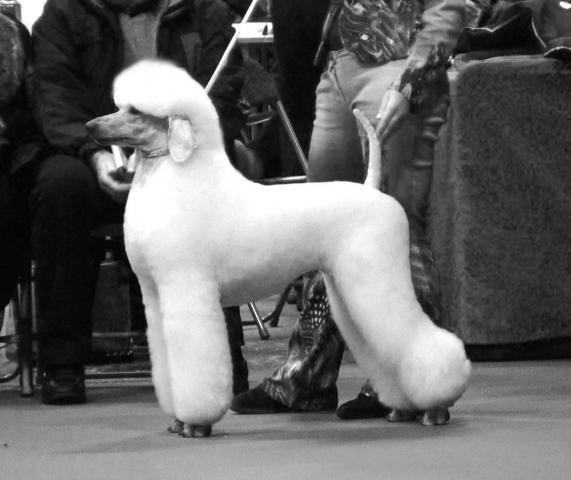 Rent Poodle 3