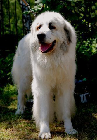 Rent Pyrenean Mountain Dog