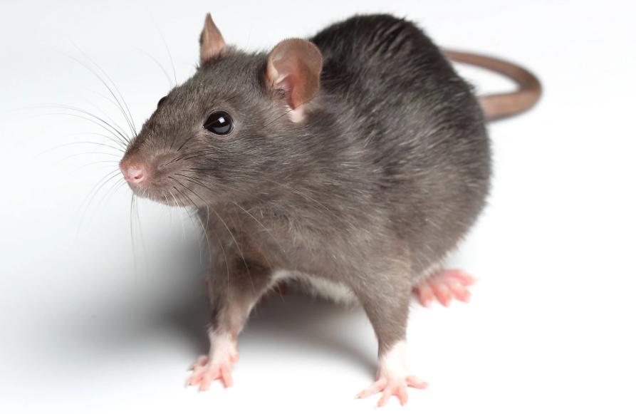 Rent Rat