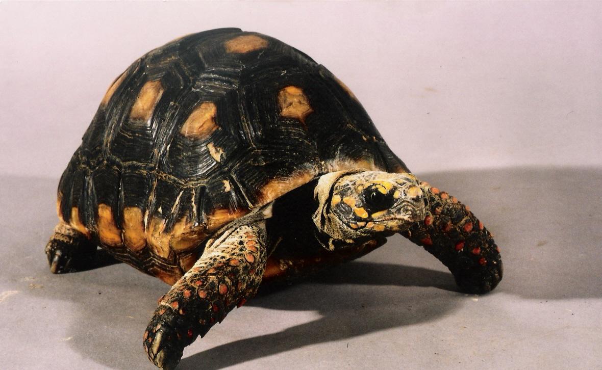 Rent Red Legged Tortoise