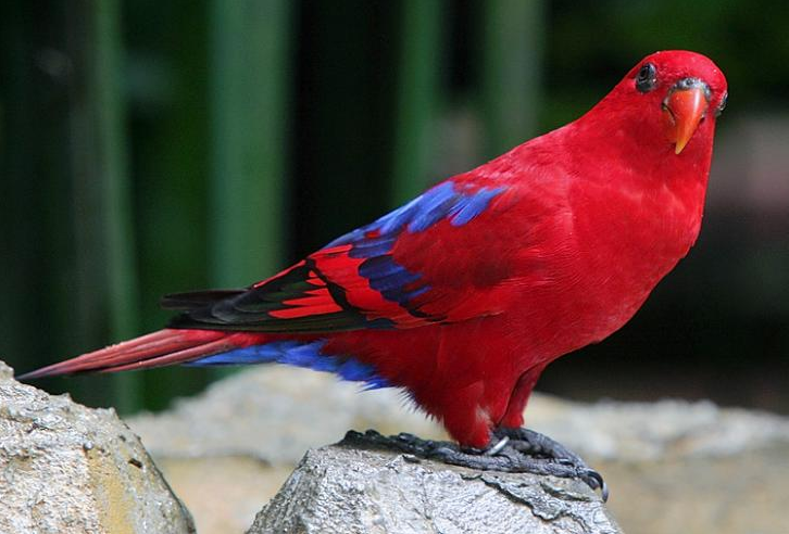 Rent Red Lory