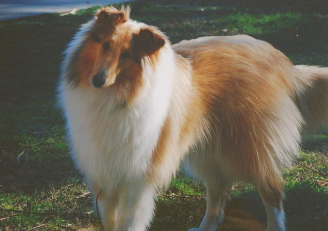 Rent Rough Collie