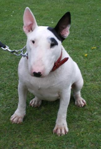 Rent Roxy (Bull Terrier)