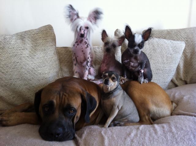Rent Samson & Chihuahuas