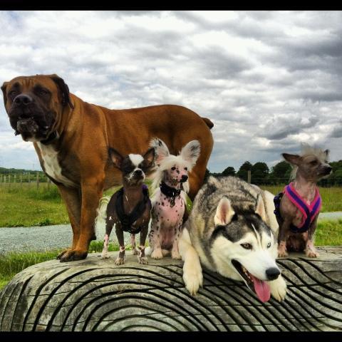 Rent Samson with Husky & Chihuahuas