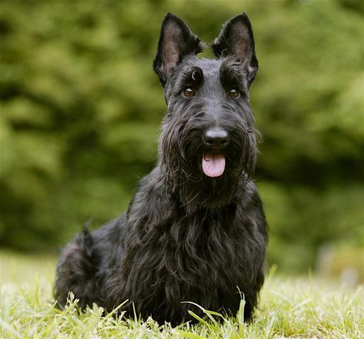 Rent Scottish Terrier