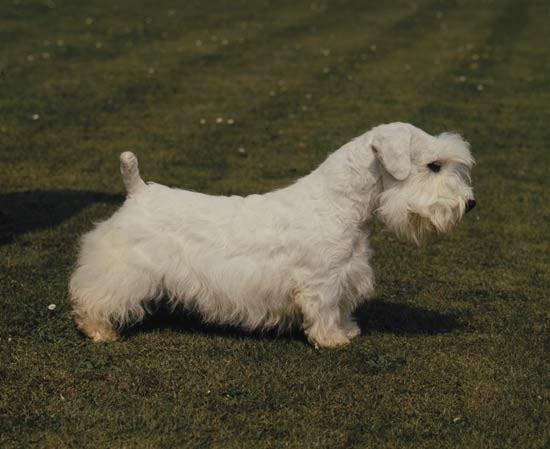 Rent Sealyhm Terrier