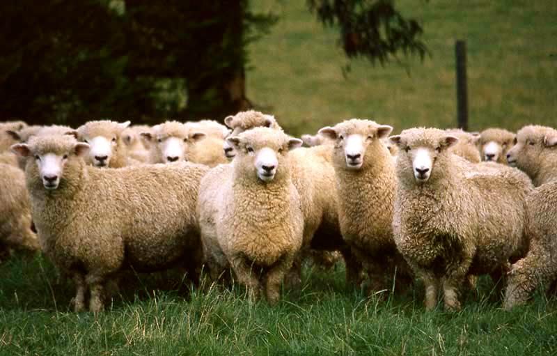 Rent Herd of Sheep