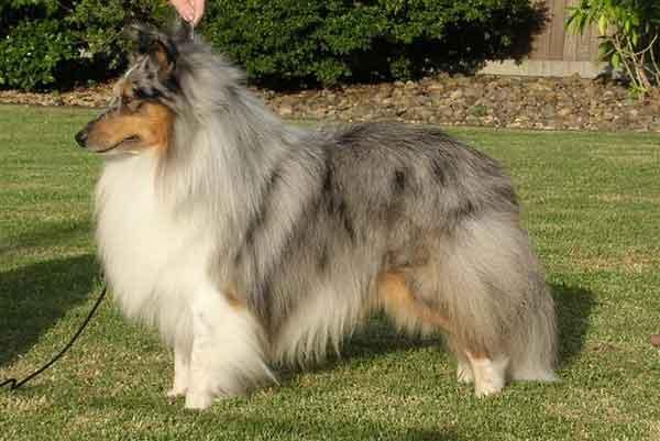Rent Shetland-Sheepdog