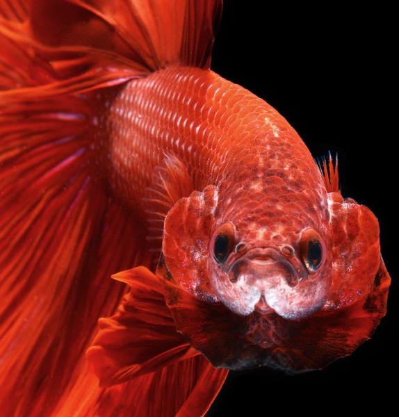 Rent Siamese Fighting Fish