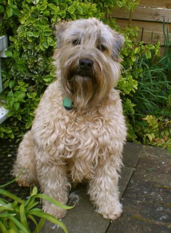 Rent Soft Coated Wheaten Terrier