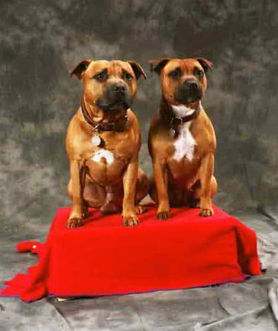Rent Staffordshire Bull Terriers