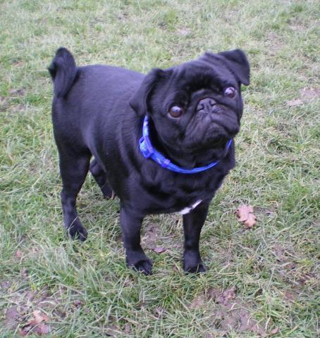 Rent Stanley (Pug)