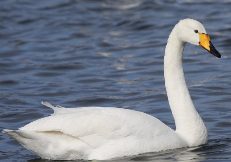 Rent Swan