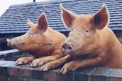 Rent Tamworth Pigs