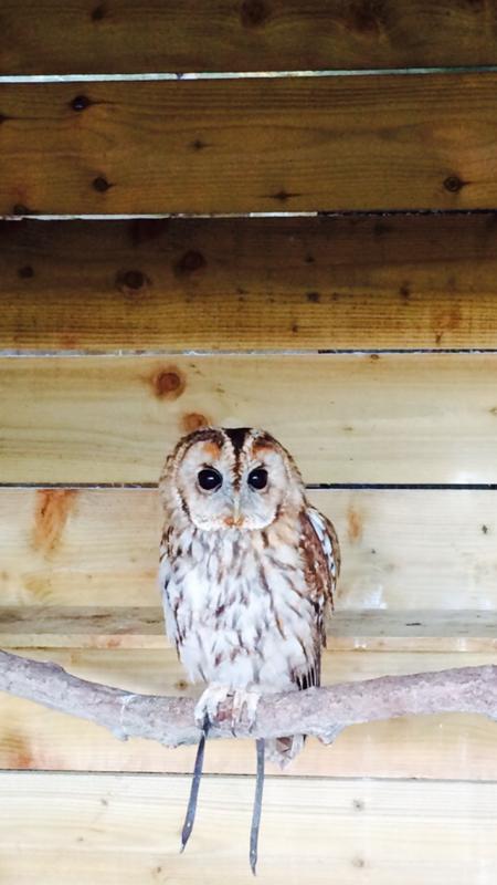 Rent Tawny Owl