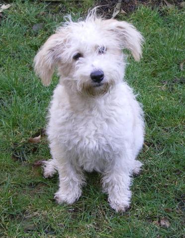Rent Teddy (Cross breed)