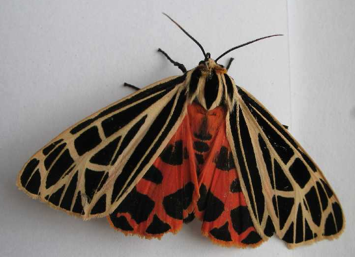 Rent Tiger Moth