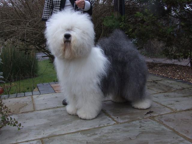 Rent Violet (Old English Sheepdog)