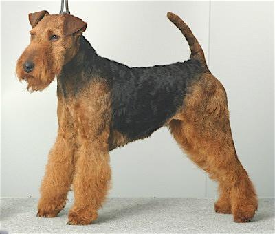 Rent Welsh Terrier