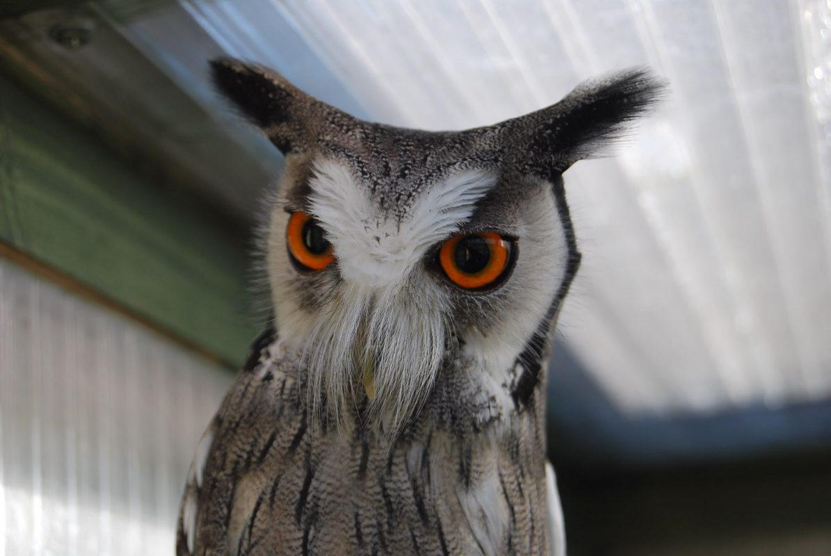 Rent White Faced Scops Owl