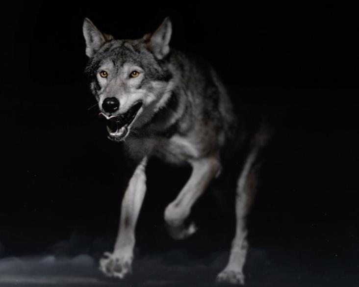 Rent Wolf