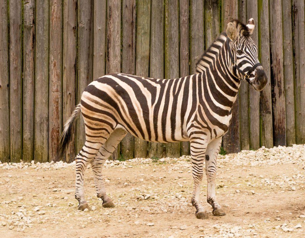 Rent Zebra