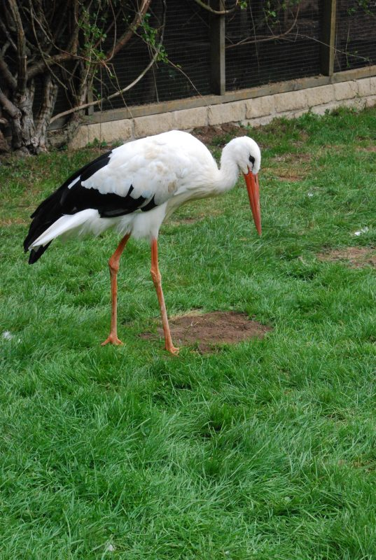 Rent White Stork